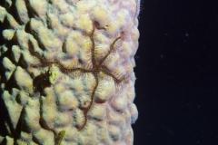 Brittle Star & Sponge